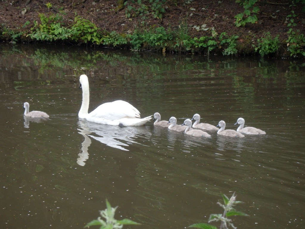 I was too slow taking this picture.  When I first stopped the signets were in a perfect line behind the adult swan.